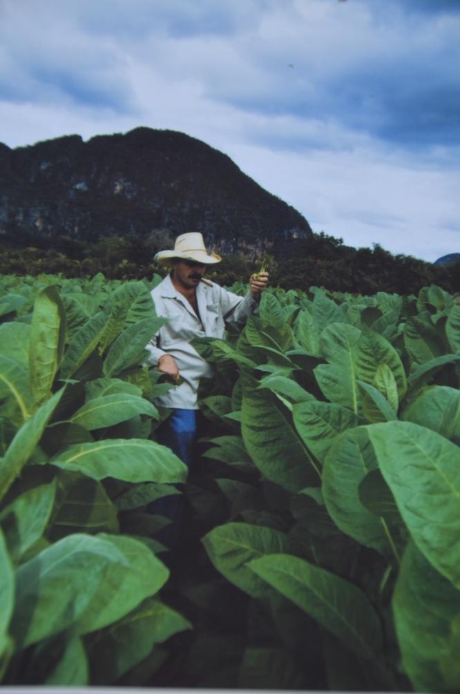 Benito in his tobacco field.