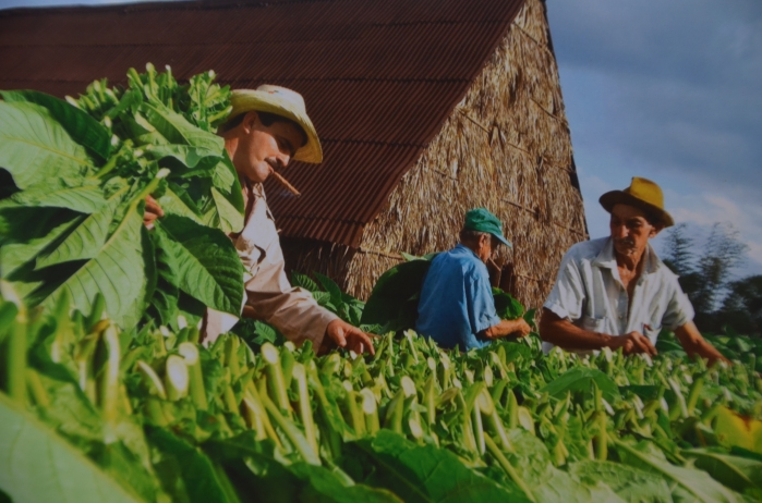 Benito and his workers cutting the tobacco leaves to hang them in the tobacco barn for drying and curing.