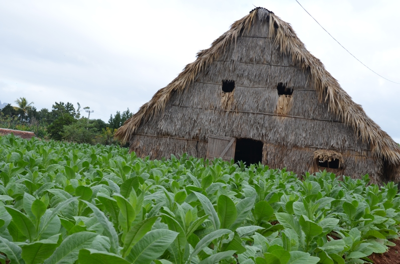 Benito's tobacco drying barn with the tobacco field nearby.