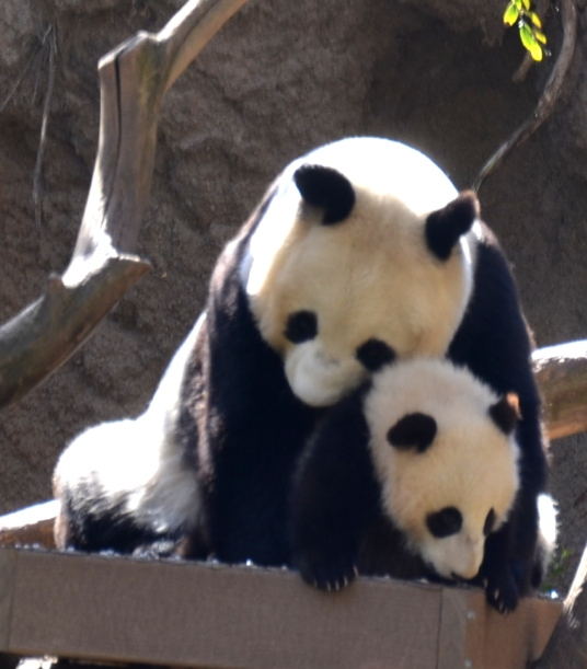 Bai Yun and her baby hugging at the San Diego Zoo.