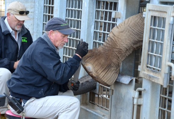 An elephant puts her foot out so the keeper can give her a pedicure.