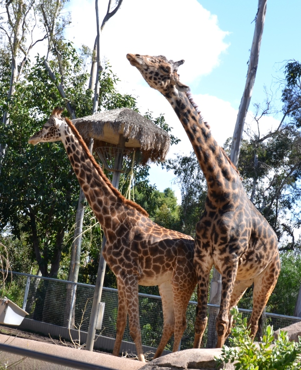 Mr. & Mrs. Giraffe at the San Diego Zoo.