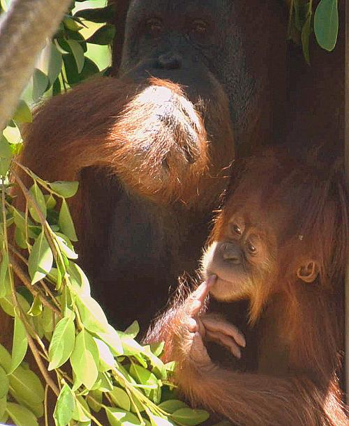 Indah with her baby Aisha patiently watches her.
