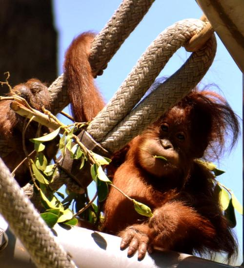 Aisha carefully moves a few inches on the climbing apparatus from Mom Indah.