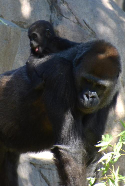 Joanne gets a ride on Momma back because she can't walk at almost 5 months of age. The ape infants develop like human infants since they have almost the same DNA as humans.