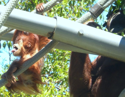 Photo by Denise Carlson of Aisha hanging on the ropes a few inches from Momma Indah.