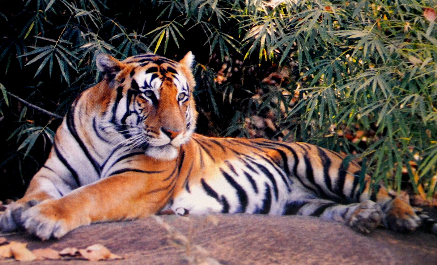 royal bengol tiger