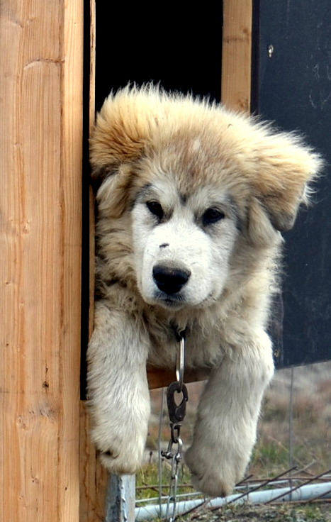 A cute one in training to be a Sled Dog when he grows up.