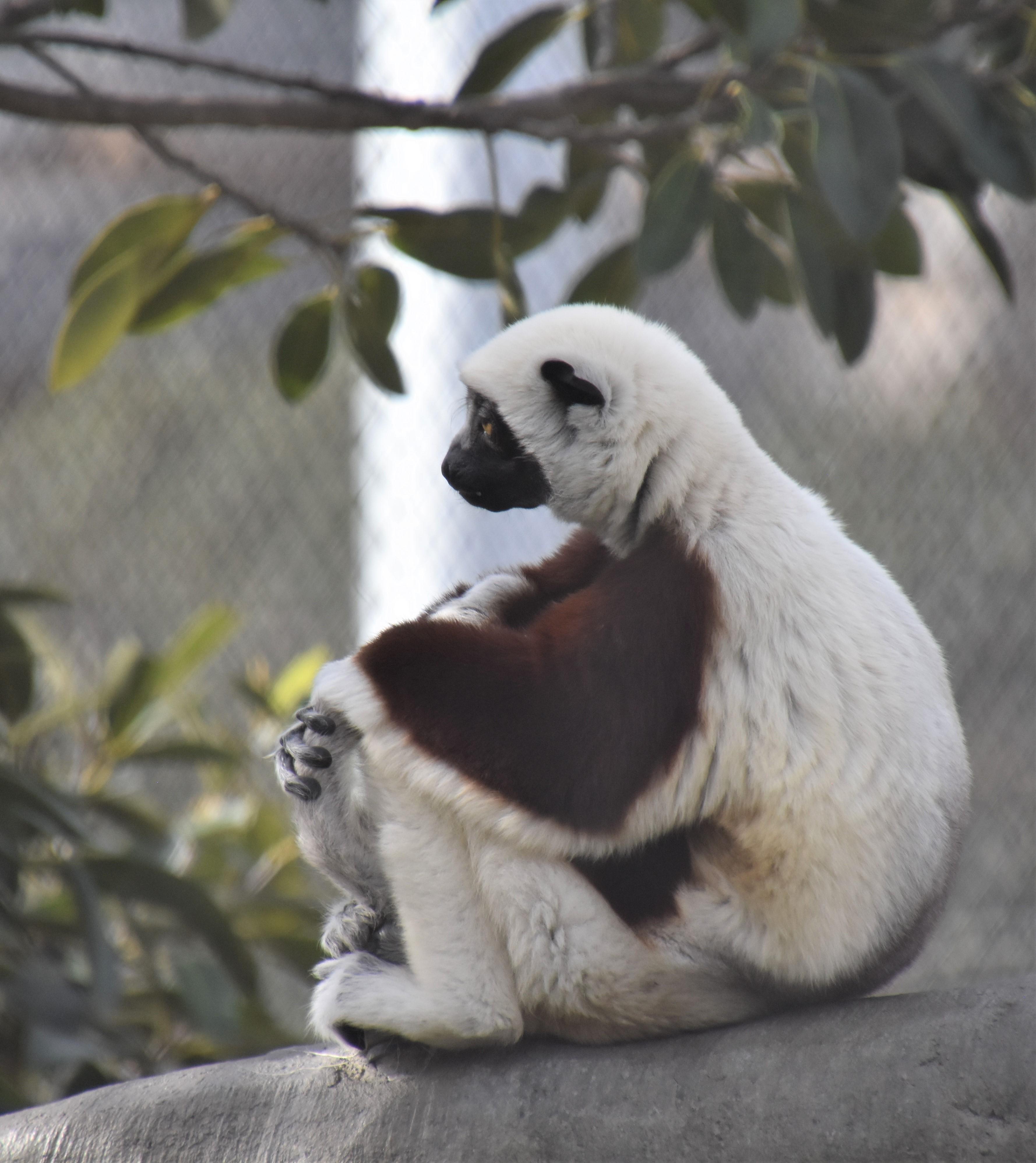 DSC_0232 Lemur 2019