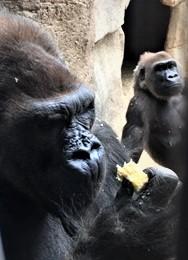 IMG_2275 (1) Winston gorilla 2018